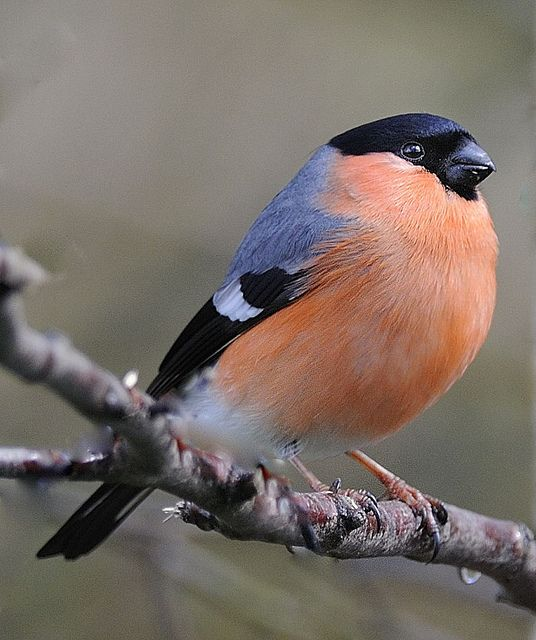 Bull Finch looks very pretty.Please check out my website thanks. www.photopix.co.nz