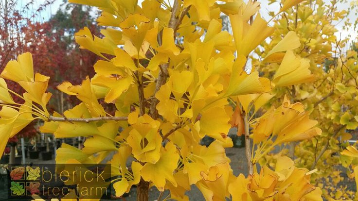 Ginkgo biloba – Maidenhair Tree – Purchase Bare Rooted Trees Online