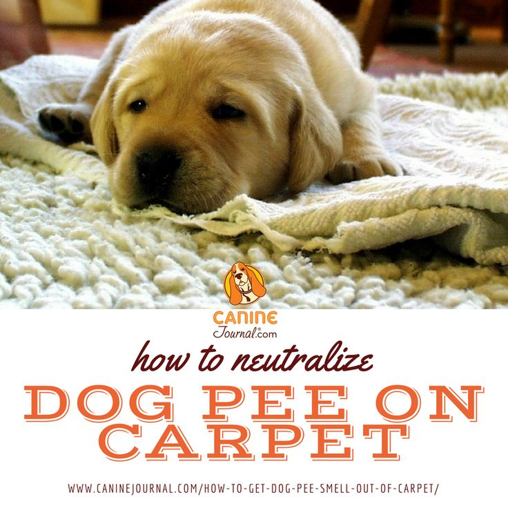 Dog Smell Of Rug: 1000+ Ideas About Dog Pee On Pinterest