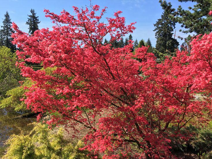 Acer palmatum 'Shindeshojo' in the Alpine Garden