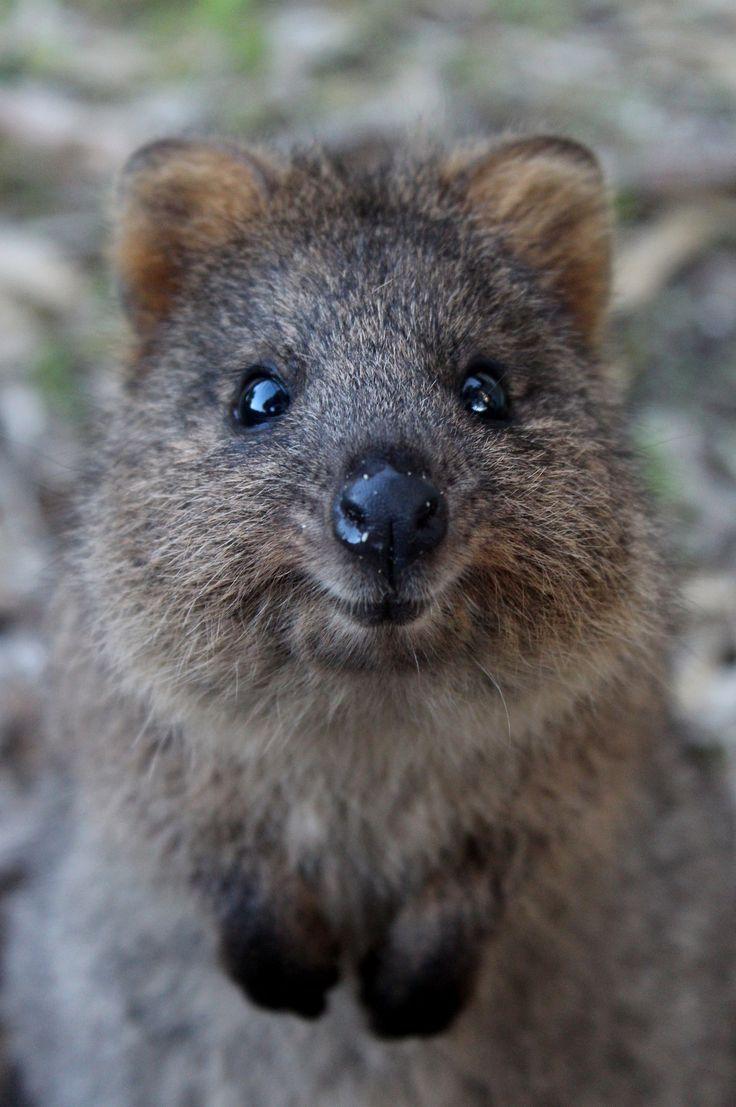 Quokka :) - Fall Fan - #fall #Fan #Quokka | Cute animals ...