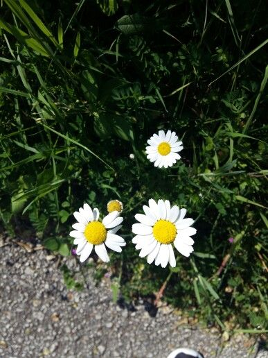 The signal that spring is actually here ❤ #firstDayOfSpring #daisies #corfu #greece