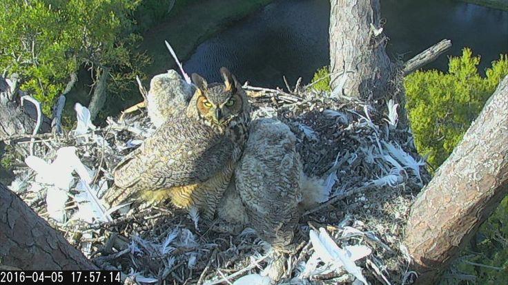Savannah Owls: 17:57 4/5/16 Mom looks like she is watching us.