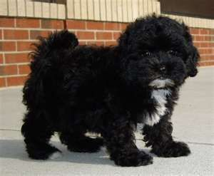 lhasa poo- our new famiy addition :) this isnt him, bu he looks like this...soooo cute!