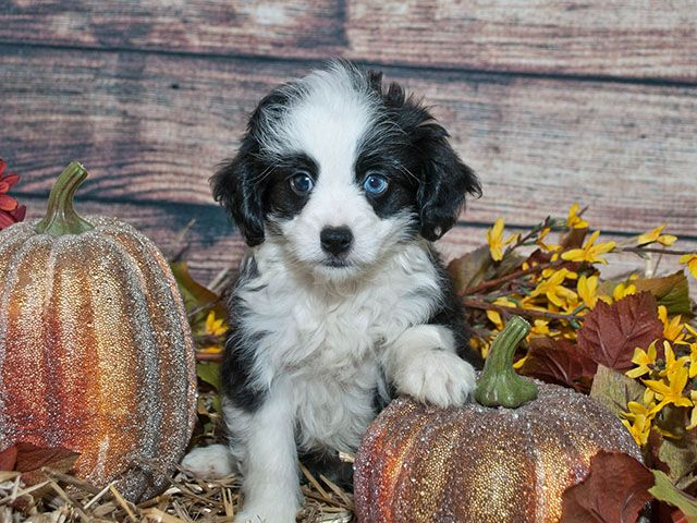 25 best ideas about husky poodle mix on pinterest