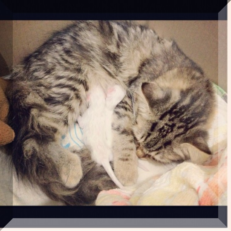 kitty-cat -> Almost certainly getting a kitten now ~~ meow #OMG #kitty-cat: Animal & Pet, Kitty Cats, Kittens Cuti, Kittycat Kittycat, Kittycat Meow, Kitty Kittycat, Animal Pet, Kittens Births, Animals & Pets