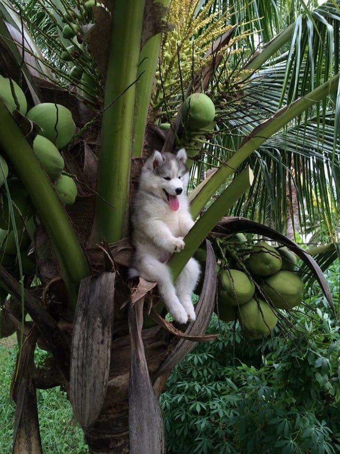 17 montagens hilárias com o husky que ficou preso em um coqueiro