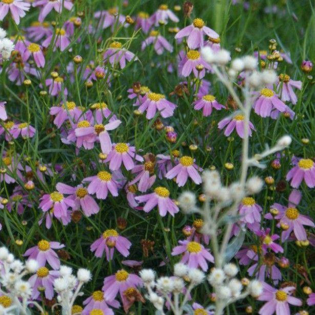 Un jour une fleur coreopsis rosea american dream belle vivace buissonnante de de hauteur couverte de fleurs rose soutenu à coeur jaune en été puis en