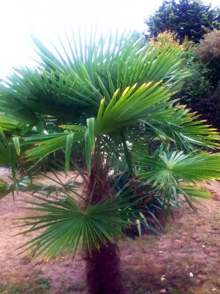 17 best ideas about palmier nain on pinterest engrais palmier plante palmier and fleur de palmier - Petit nain de jardin toulouse ...