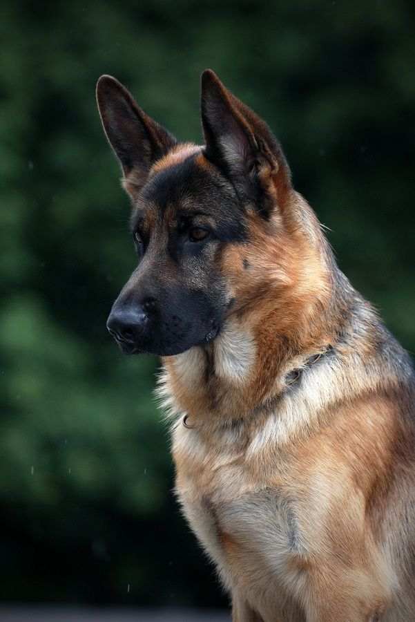 German Shepherds are beautiful