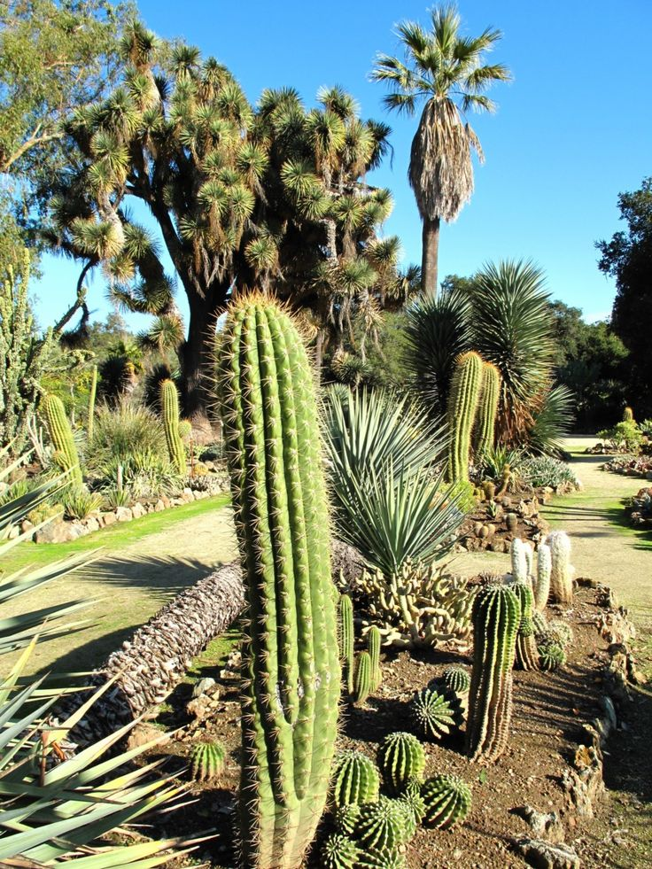 Arizona Cactus Garden of California or the Stanford Cactus Garden is a fantastic botanical garden specifically known for its unique collection of cactus and succulents. The garden is comprised of an area of 30000 sq. ft and is situated within the campus of Stanford University Arboretum in Stanford, California.