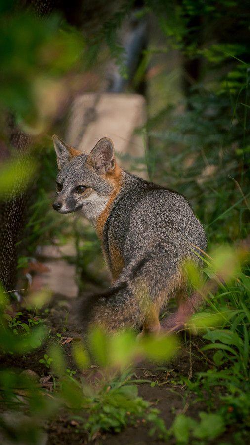 Grey Fox by Ryan Summers