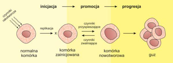 Kancerogeneza :: Biotechnologia: e-biotechnologia.pl :: Biotechnologiczny Portal Internetowy-aktualności, artykuły, laboratorium, studia biotechnologiczne.