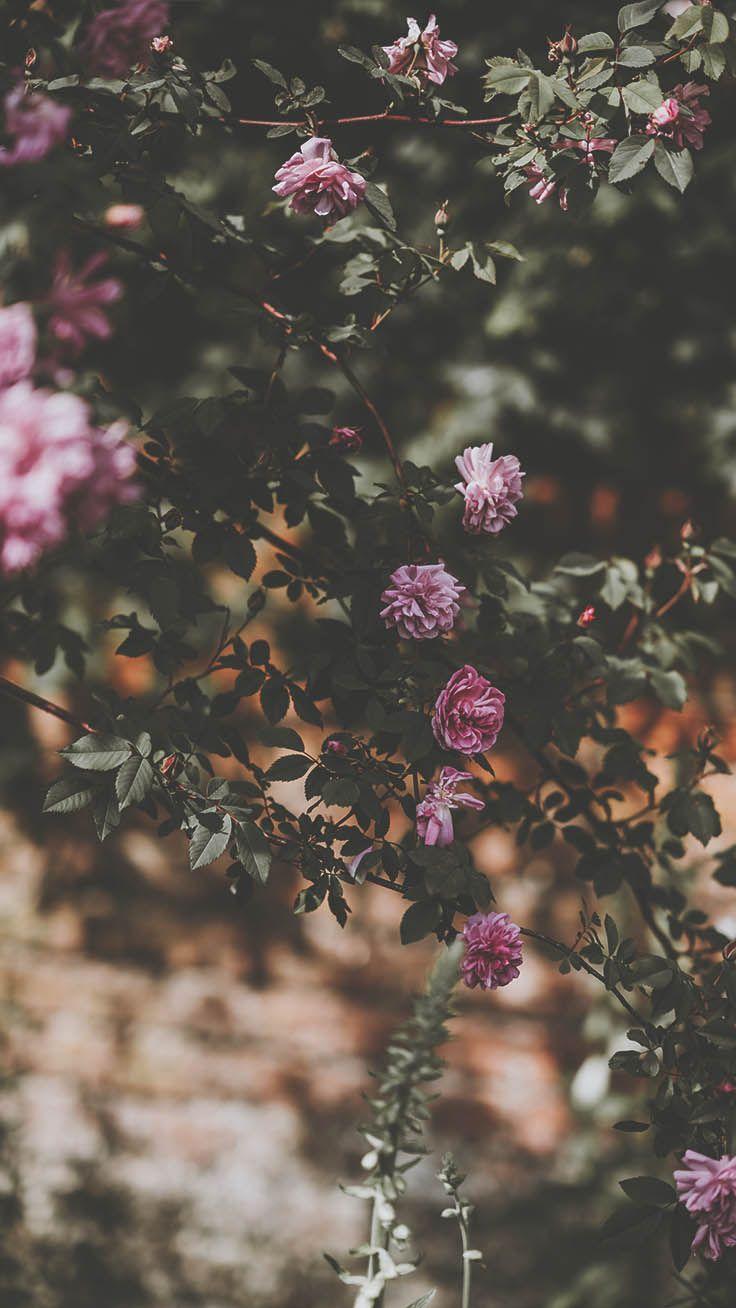 29 Romantic Roses Iphone X Wallpapers Iphone Arkaplanlari
