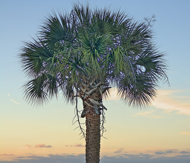 Palmetto palm - state tree! | Palmetto Trees | Pinterest