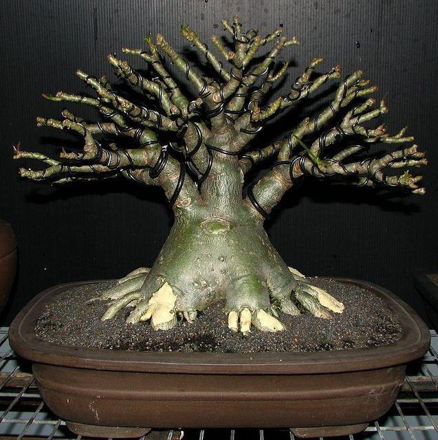181 besten bonsai gestaltung pflege bilder auf pinterest. Black Bedroom Furniture Sets. Home Design Ideas