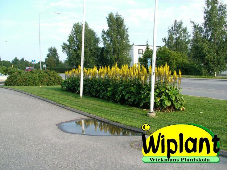 Ligularia Hietala, Lapplandsstånds-Lapinnauhus. Växer till ca 150-200 cm med riktigt gula blommor i juli. Mycket snygga blanka blad.