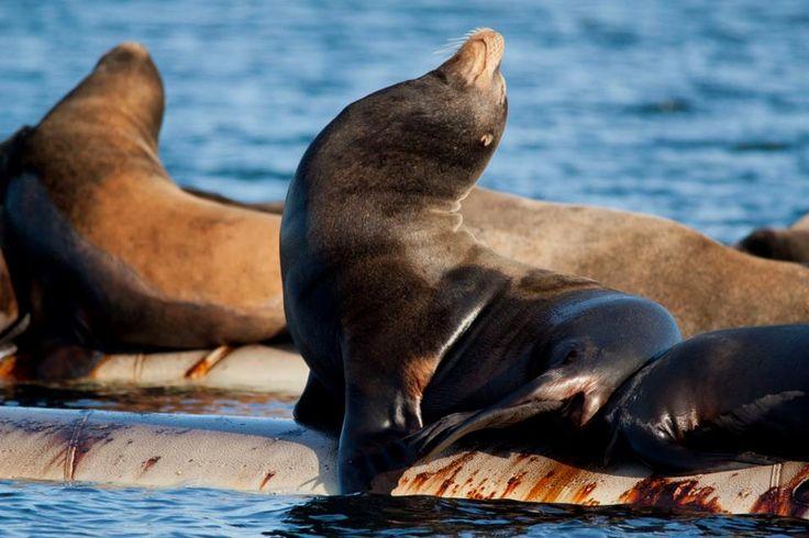Sea Lions at Fanny Bay..Vancouver island BC