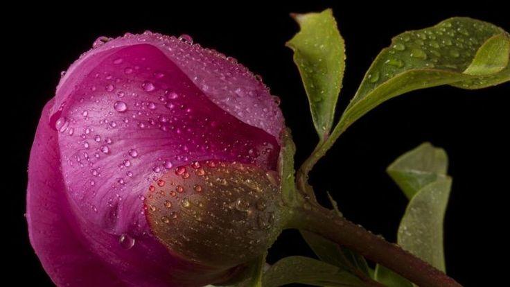Beautiful Flower Buds