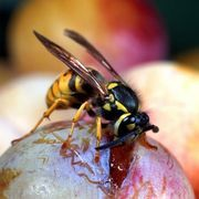 Print this article 103 Found This Helpful Ways to kill Wasps Wasp eating fruit Of all the flying insects that are capable of inflicting a sting, wasps are amon...