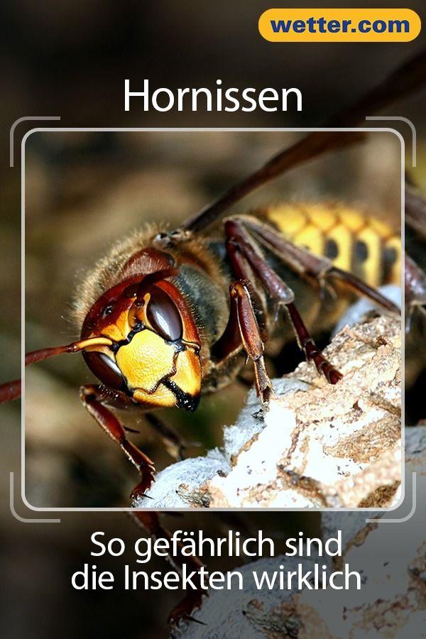 Hornissen Gefährlich