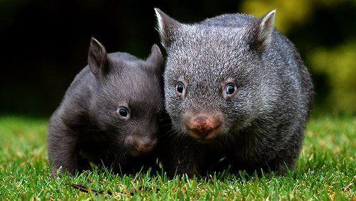 Adorable Wombats