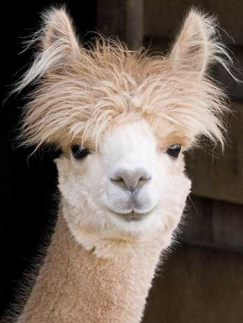 Alpaca photo by Mike Mulberry