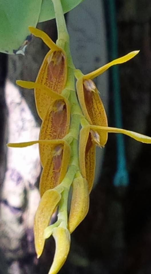 A Acianthera ciliata (Knowles & Westc.) F.Barros & L.R.S.Guim. é mais uma bela espécie epífita pertencente a família botânica Orchidaceae, originária da Costa Rica, Honduras e Trinidad Tobago, atualmente encontrada também no Brasil, nos Estados do Acre, Amazonas e Pará.