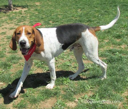 Treeing Walker Coonhound Information and Pictures, Treeing Walker Coonhounds