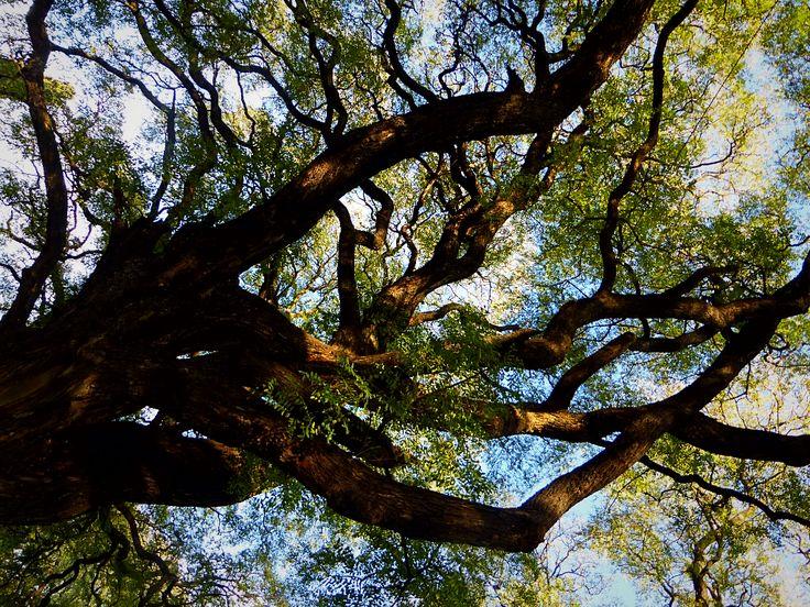 Aquí les presentamos nuestra mini guía de árboles argentinos que viven en Buenos Aires. Descripción y lugares donde podrán verlos de cerca en la ciudad.