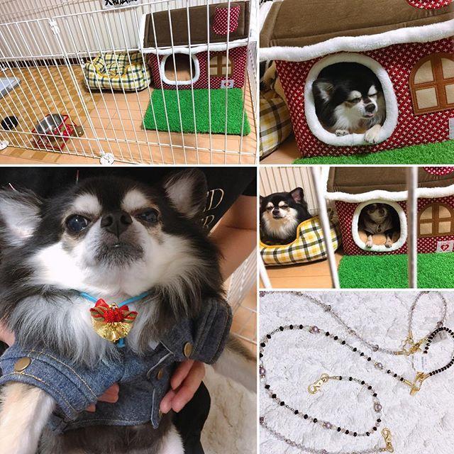 みやくんハッピーバースデー。庭付きの一戸建てと、新しいリードをプレゼント( ^ω^ ) #愛犬 #チワワ #ペット #犬 #dog #pet #みやくん #ハッピーバースデー #happybirthday #誕生日プレゼント #庭付き一戸建て #リード