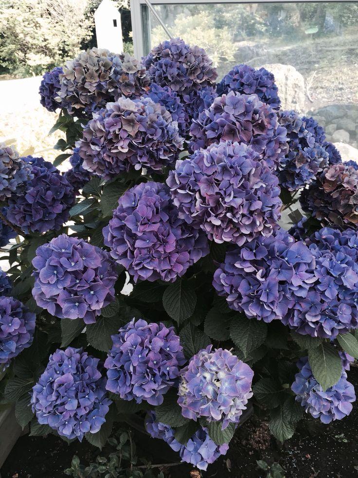 Jeju hydrangea flower pinterest hydrangeas - Care potted hydrangea ...