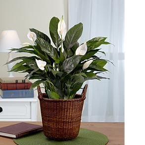 stylist lily house plant. Stylist Lily House Plant The basic Peace is one of the most popular house  Home Design Plan Best 100 Image Collections nickbarron