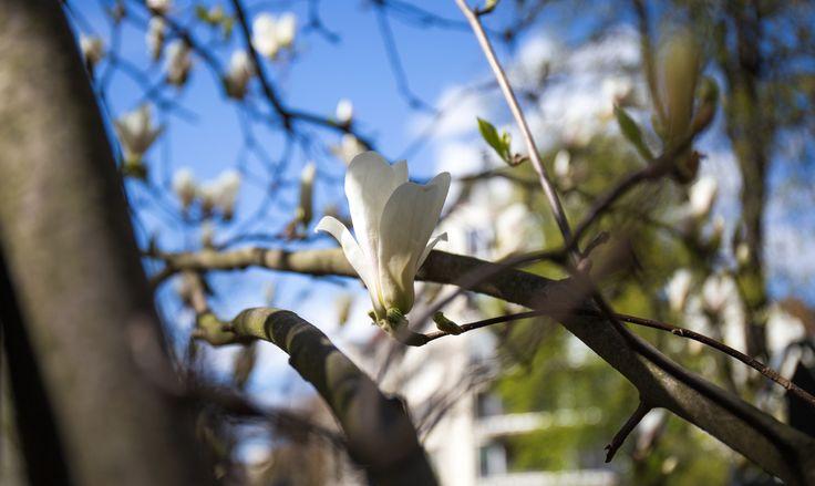 Friedenauer Magnolienbäume