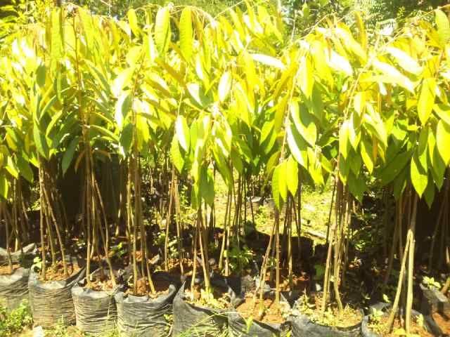 Termurah Wa 0822 2022 8118 Harga Bibit Durian Bawor Siap Berbuah Bandar Lampung Harga Bibit Benih Pelampung Pencangkokan