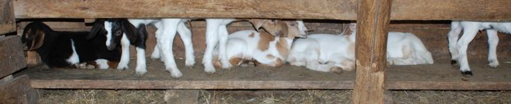 A Few Notes on Making Goat's Milk Soap « Eden Hills's Blog  ( this is a really good one)