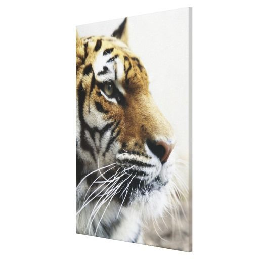 $$$ This is great for          Tiger. Asahiyama Zoo, Hokkaido, Japan Gallery Wrapped Canvas           Tiger. Asahiyama Zoo, Hokkaido, Japan Gallery Wrapped Canvas This site is will advise you where to buyThis Deals          Tiger. Asahiyama Zoo, Hokkaido, Japan Gallery Wrapped Canvas Here a...Cleck Hot Deals >>> http://www.zazzle.com/tiger_asahiyama_zoo_hokkaido_japan_canvas-192601259653472062?rf=238627982471231924&zbar=1&tc=terrest