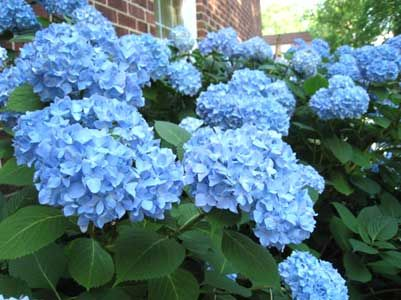 How To Make Hydrangeas Turn Blue - University of Minnesota article linked by Plant Care Today.
