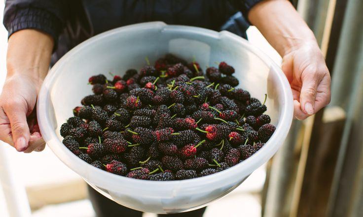 Fresh. Berries. Agriculture. Local. Kasim Erkoc. Murray Bridge. Adelaide. InDaily.