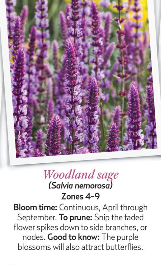 Woodland sage