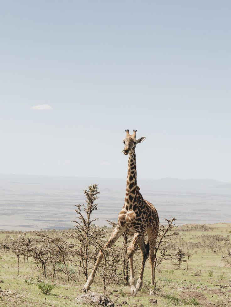 Giraffe in Tanzania Photo by Dani Knox Photos