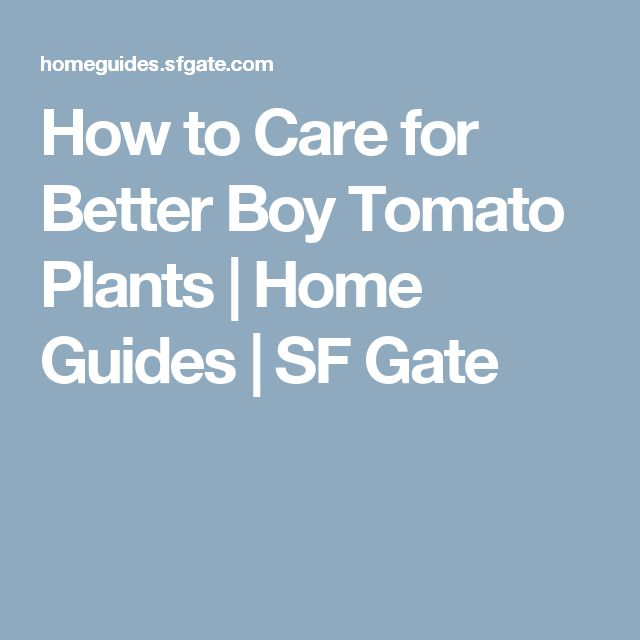 How to Care for Better Boy Tomato Plants | Home Guides | SF Gate