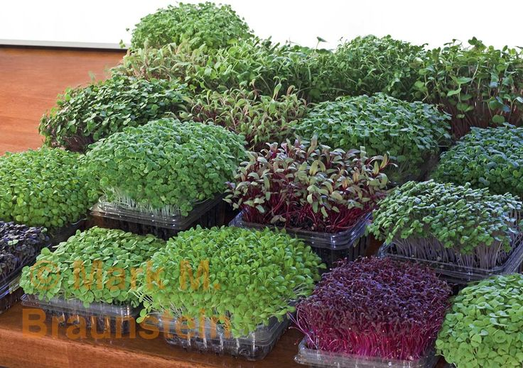 1000 images about growing microgreens on pinterest