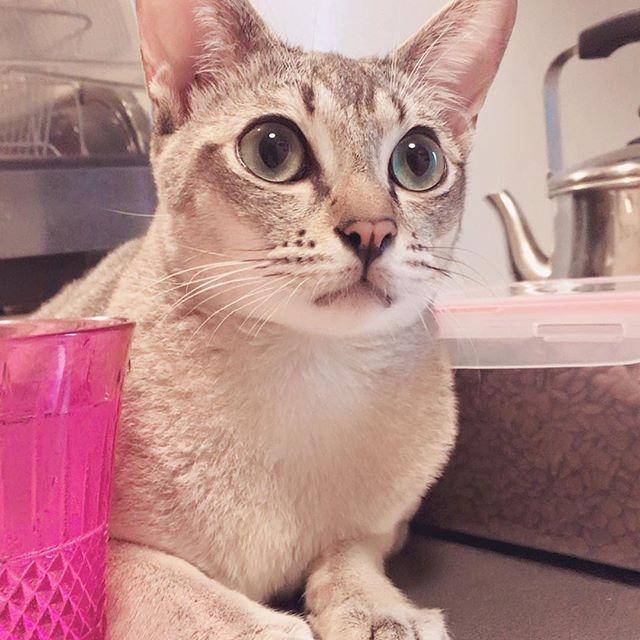 カリカリのストッカーと私のコップの間に挟まって可愛い顔🐱💙コロンはコロンでレーヌとは違った可愛さがあります(*^^*)💝 #シンガプーラ #愛猫 #大好き #特別すぎる存在  #ノルウェージャンフォレストキャット  #多頭飼い初心者  #宝物 #ご飯欲しい #あまえんぼう猫  #妹の前ではカッコつける  #2人になると甘えん坊