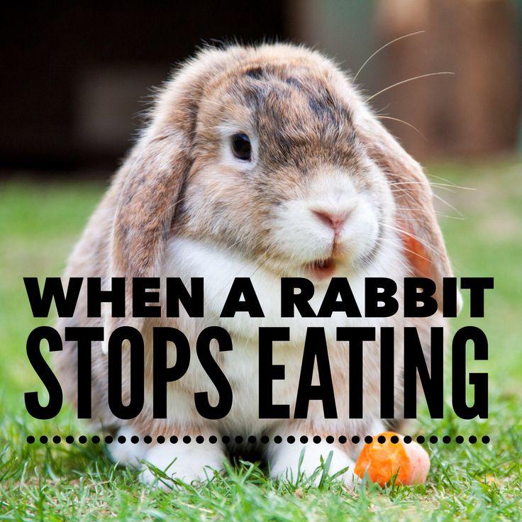 When a rabbit stops eating, it's often an emergency