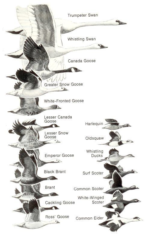 Ducks at a Distance (1 of 2): A Waterfowl Identification Guide by Hines, Robert W. (TAG:LINK=>ARCHIVE.ORG; PUBLIC DOMAIN)
