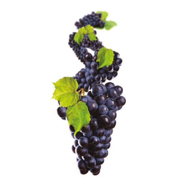 Winorośl szczepiona - Vitis vinifera 'Cabernet Sauvignon'