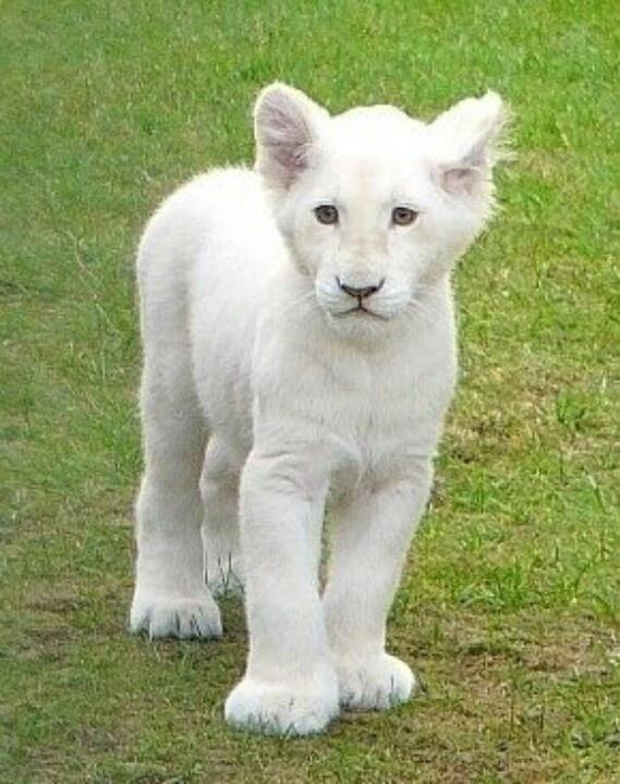 Baby white lion | Cute animals | Pinterest