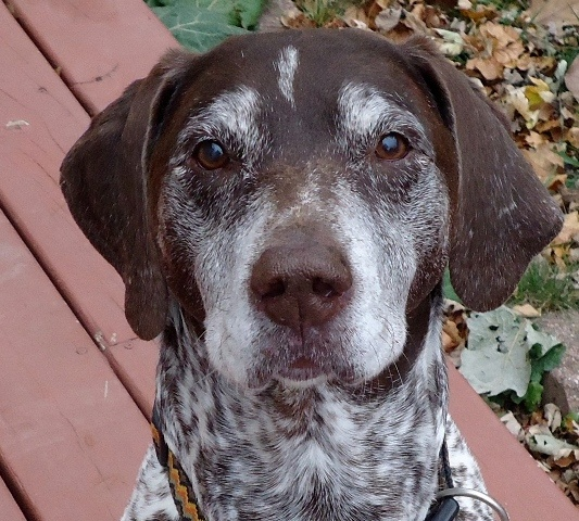 Gus-Available For Adoption - Wisconsin German Shorthaired Pointer Rescue, Inc.
