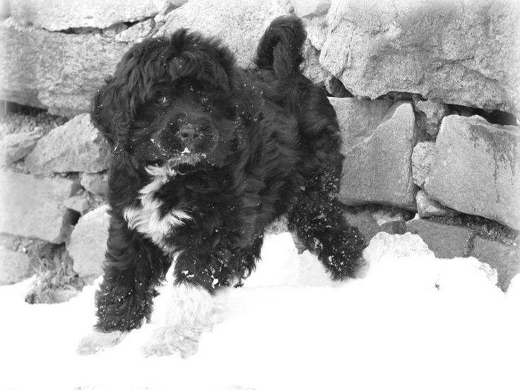 Kybra Kennel PWD puppy from Oreo & Rum www.kybrakennels.ca